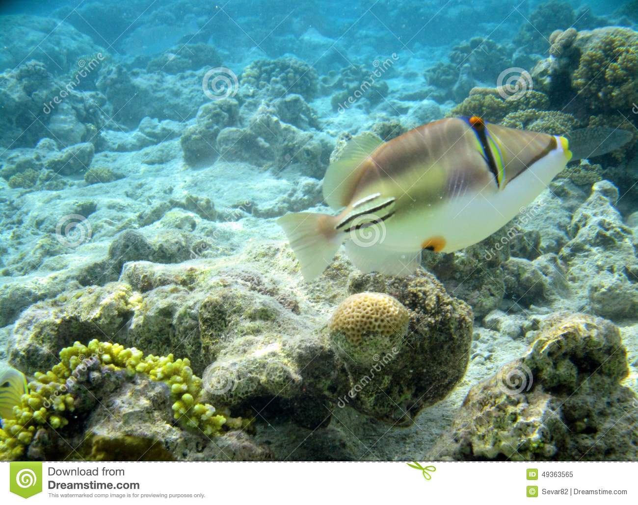 Red sea fish picasso stock photo image 49363565 for Red sea fish