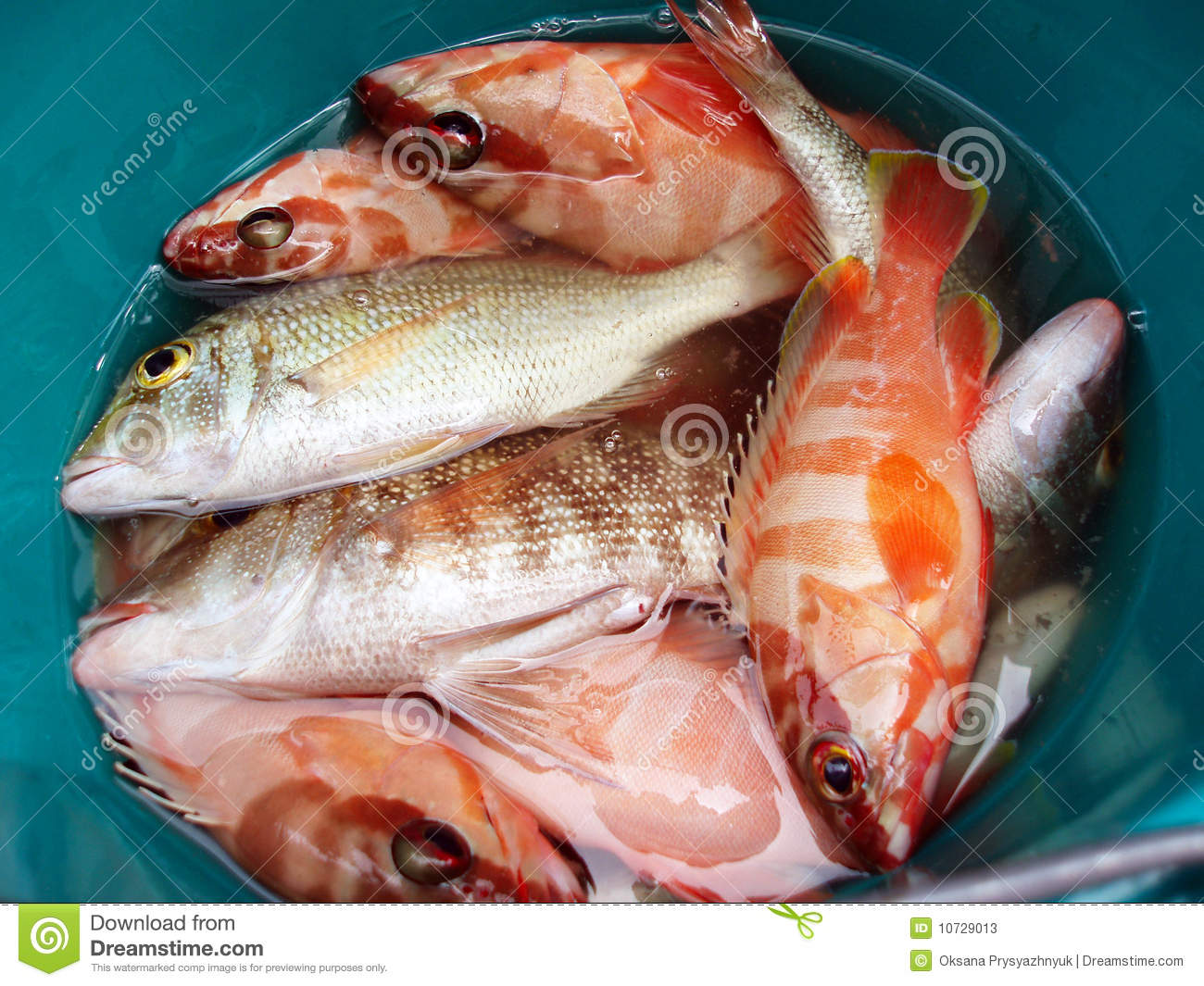 Red sea perch stock image image of meal pond rest for Ocean perch fish