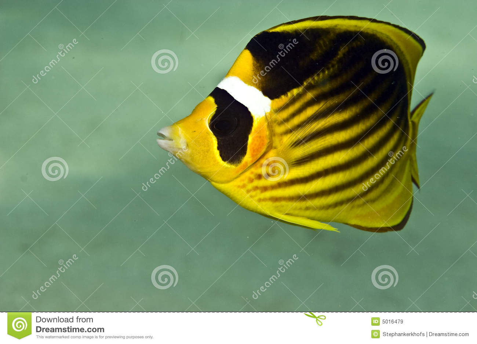 Red sea raccoon butterflyfish (chaetodon fasciatus