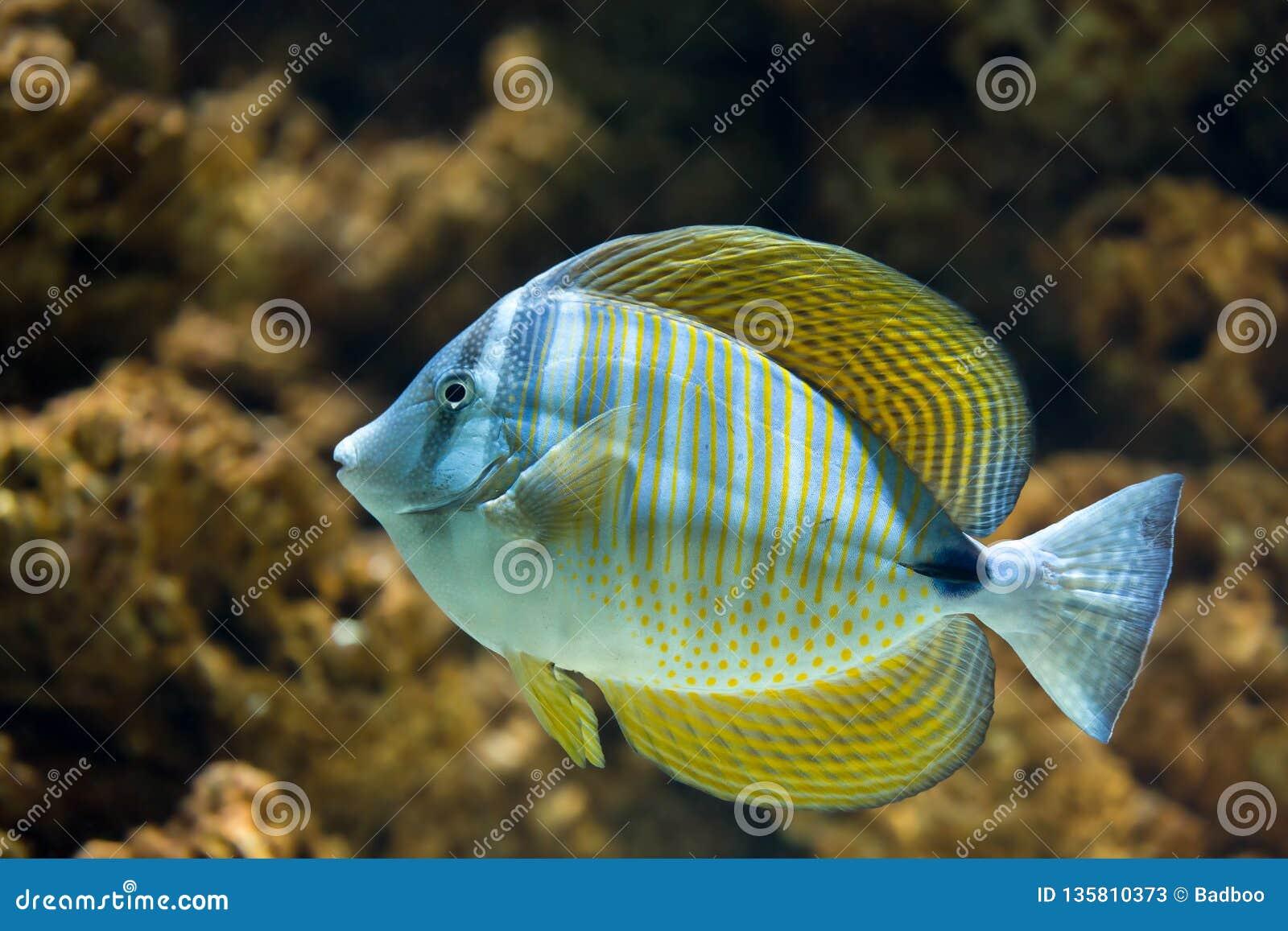 Red Sea Sailfin Tang Zebrasoma desjardinii