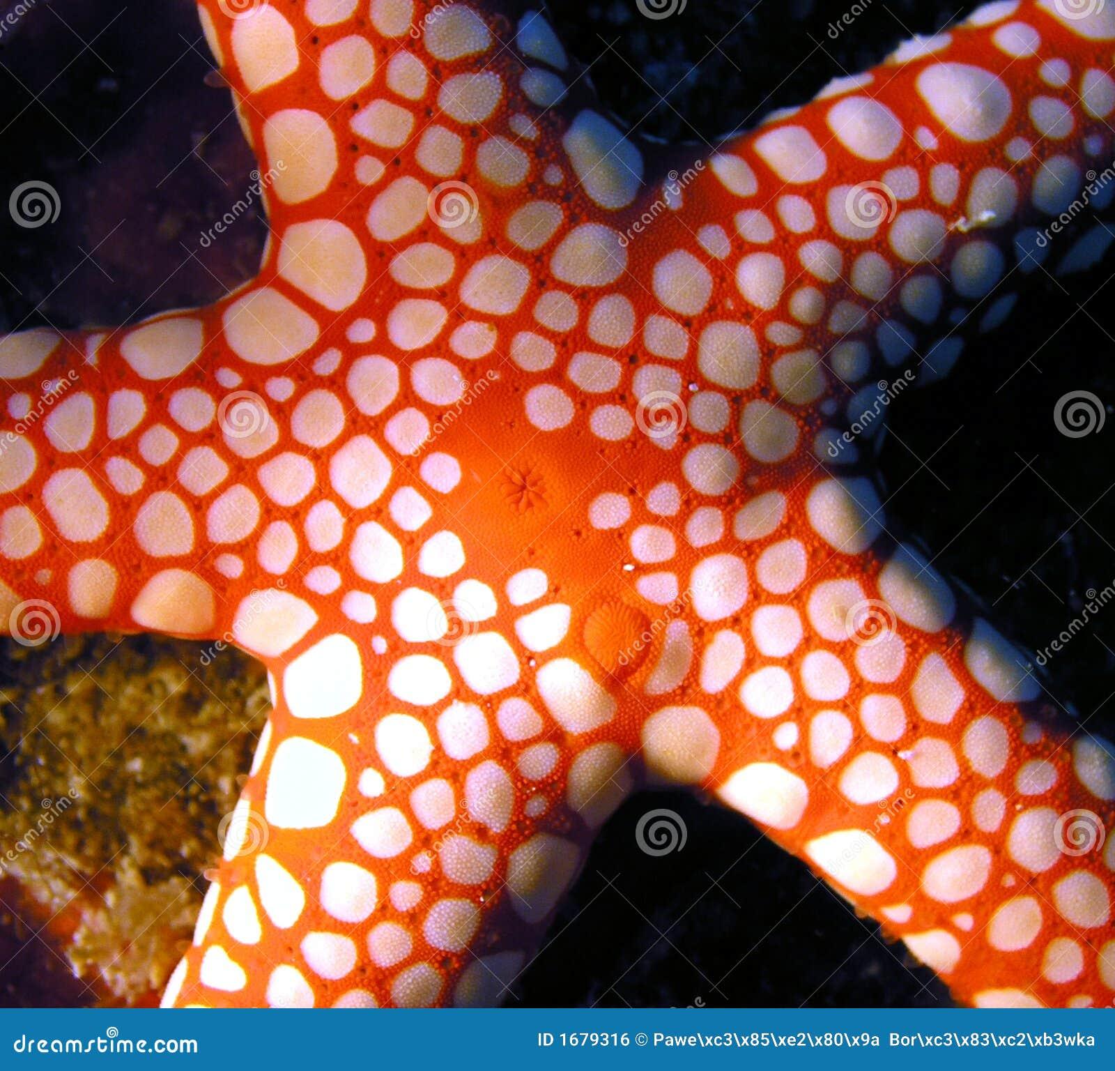 Red Sea Seastar fish