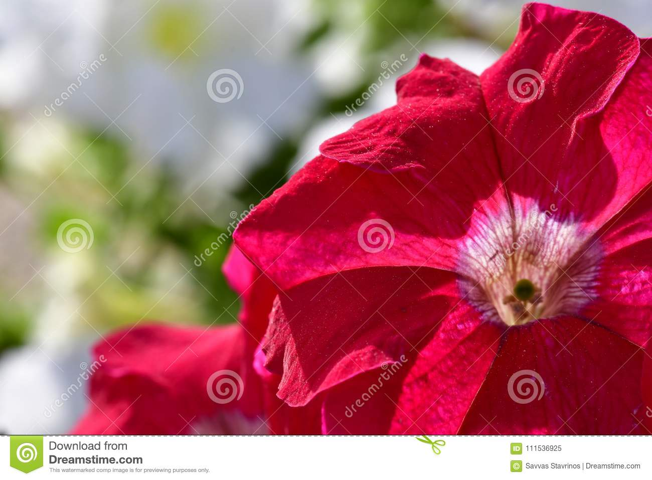 Red Color Of Flowers At Spring Time Stock Image - Image of brings ...