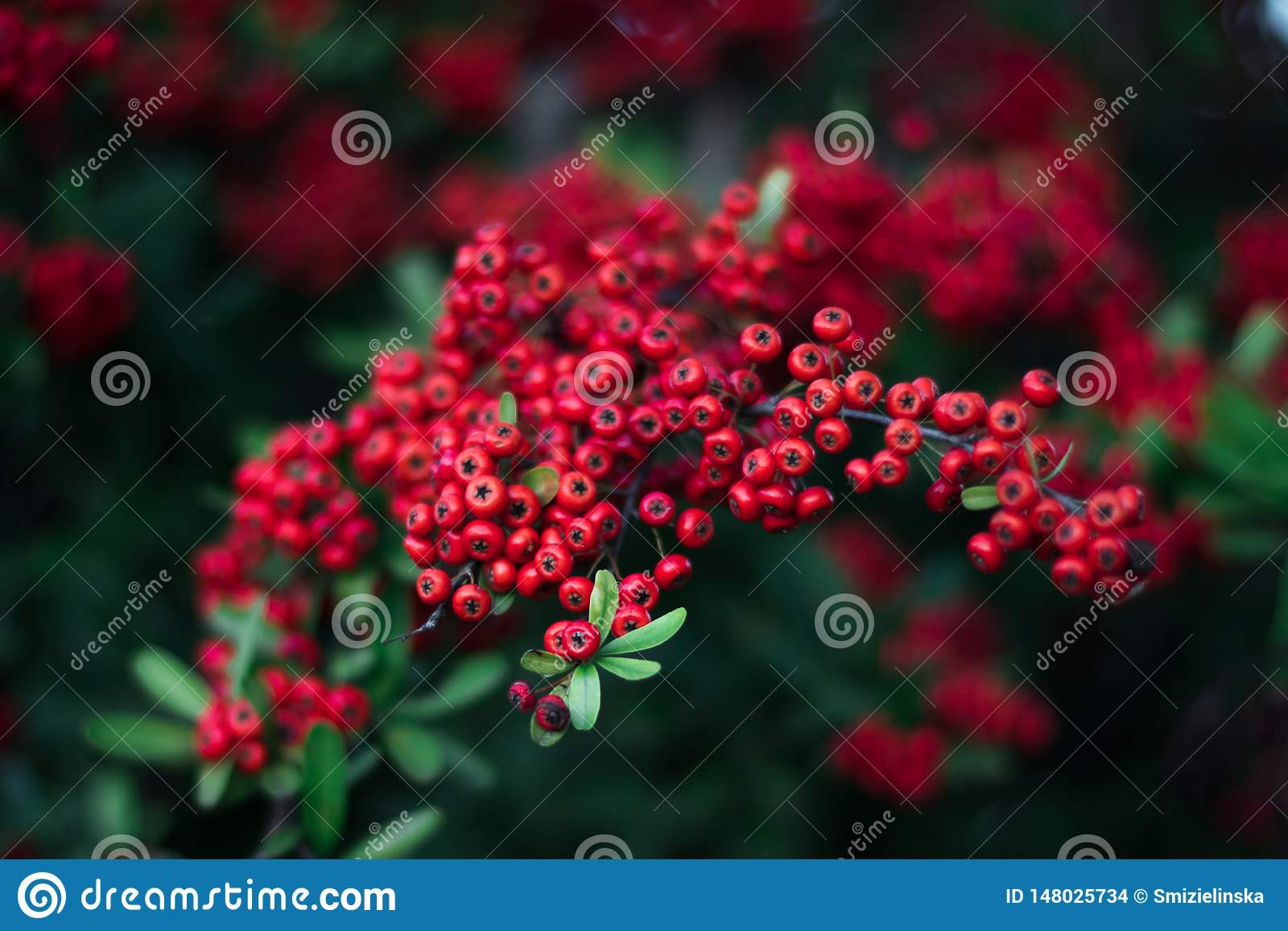 Mohave Pyracantha Firethorn - red berries green bush