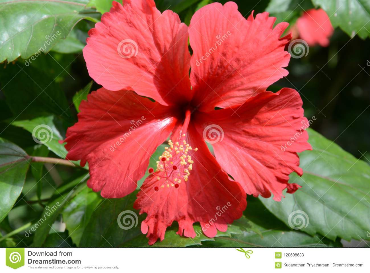 Red Shoe Flower Also Known As Shoeblackplant Stock Image Image Of