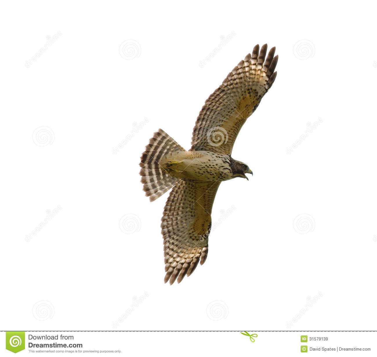 Red-shouldered Hawk Royalty Free Stock Images - Image: 31579139