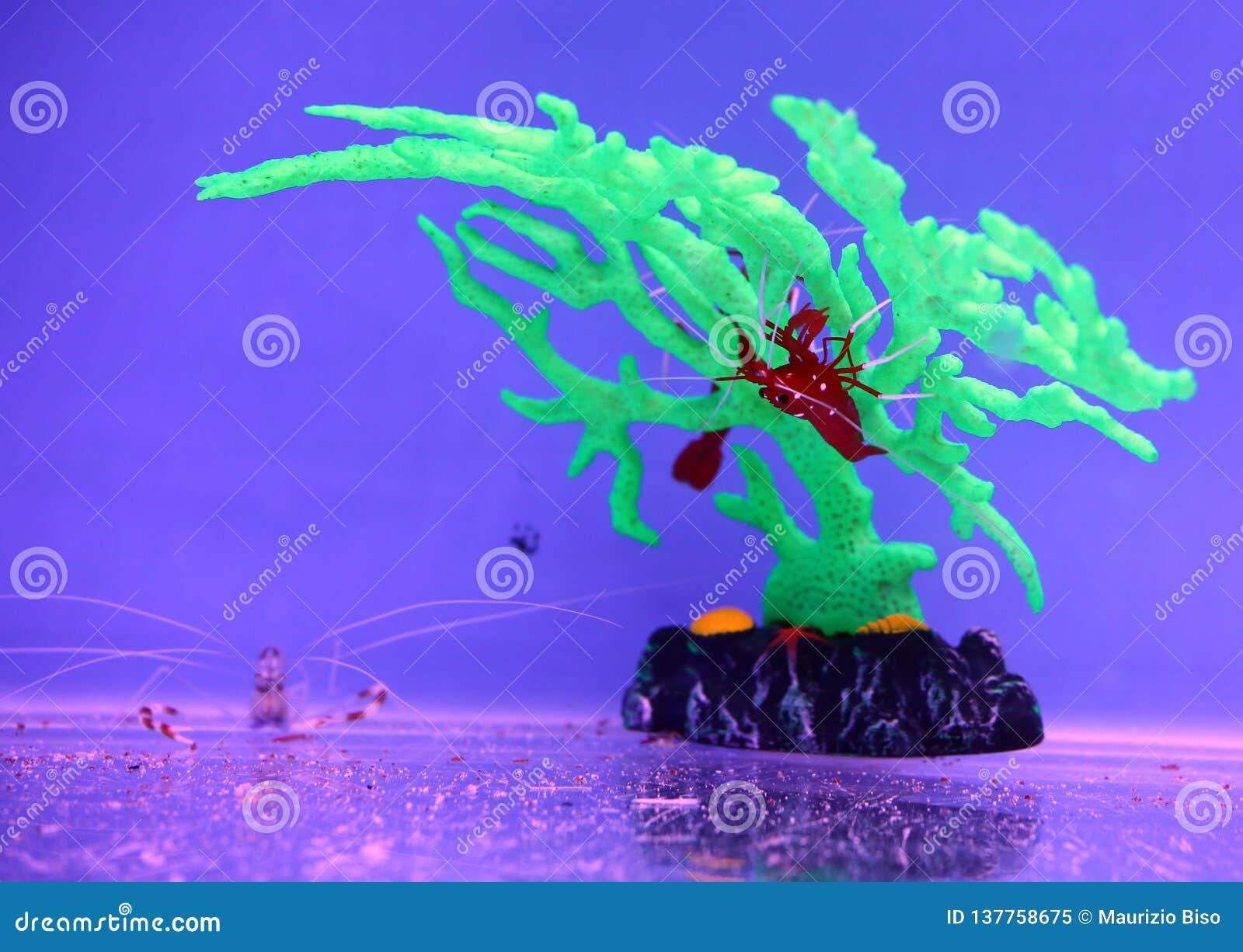 Red shrimp in aquarium