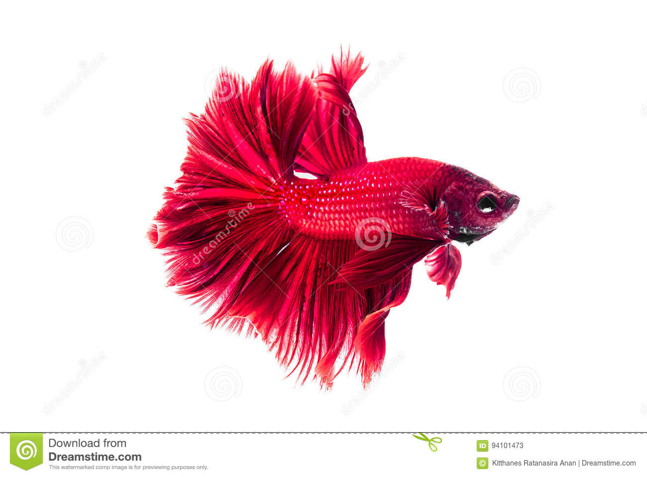 Red Siamese Fighting Fish, Betta On Isolated White Background. Stock ...