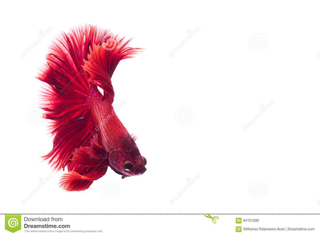 Red Siamese Fighting Fish, Betta On Isolated White Background Stock ...