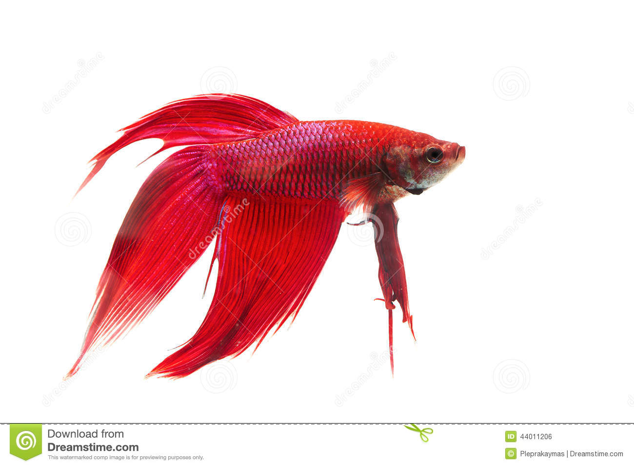 Dark red betta fish - photo#26