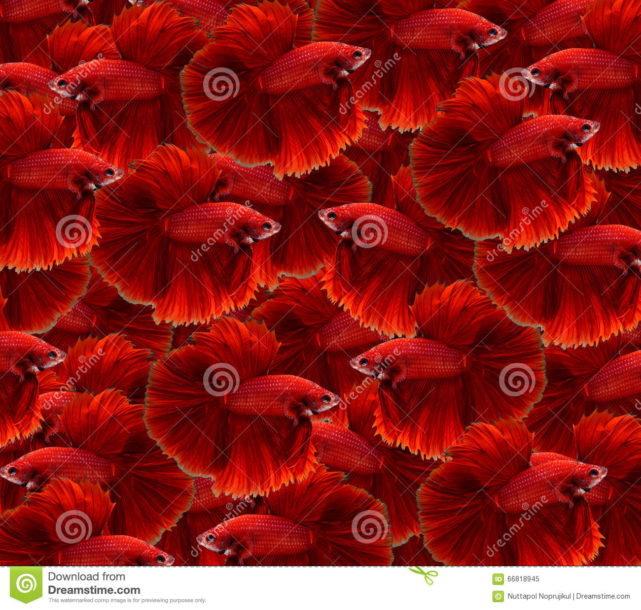 Red Siamese Fighting Fish,Halfmoon Betta Fish Background. Stock ...