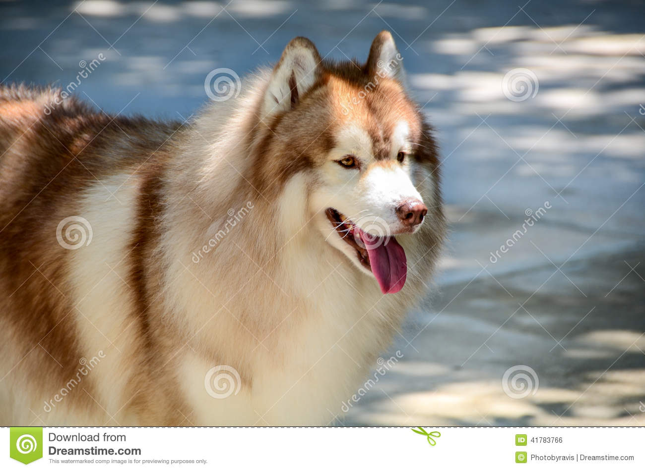 Red siberian husky stock photo  Image of cute, brown - 41783766