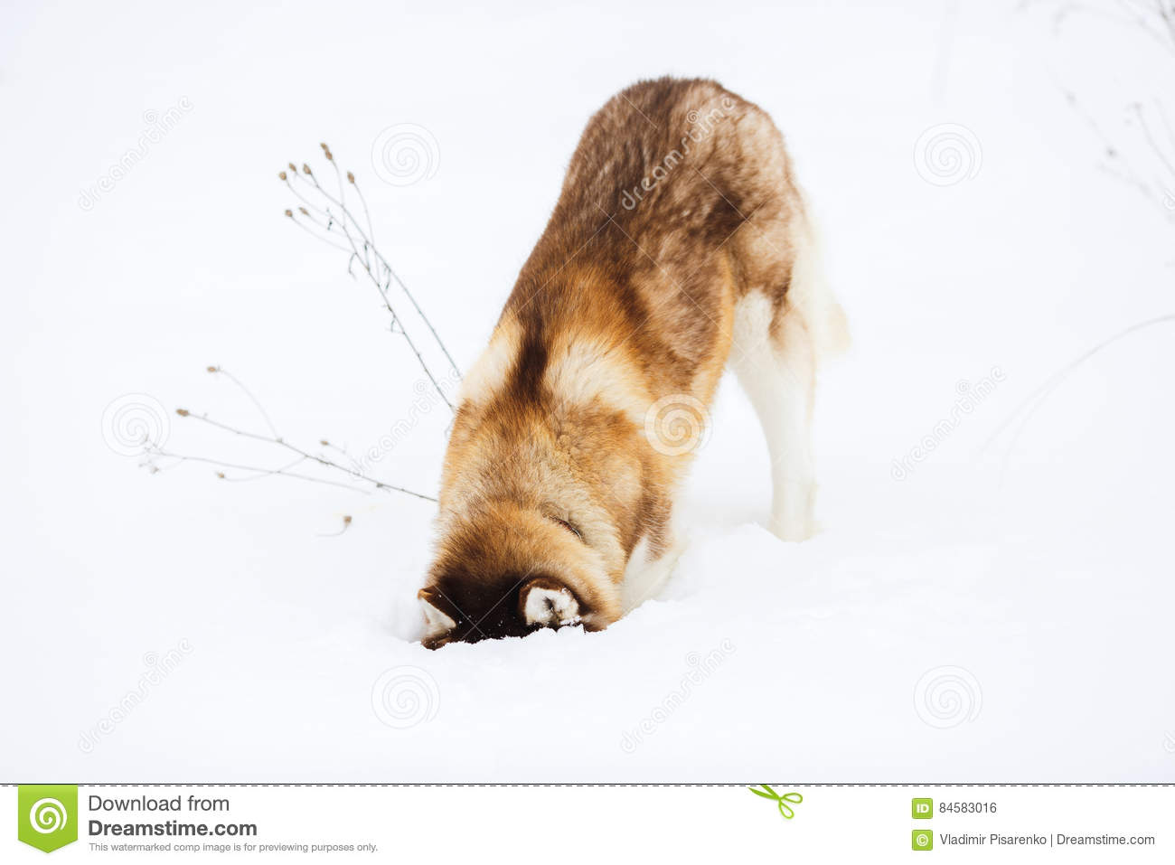 Red Siberian Husky Dog With Blue Eyes Walking On A Snow Stock Photo