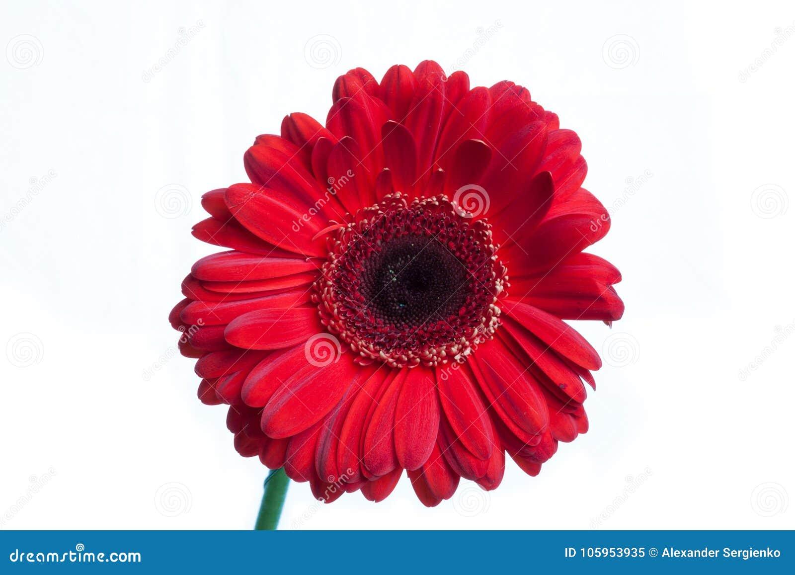 Red single gerbera isolated on white stock image image of single download red single gerbera isolated on white stock image image of single isolated izmirmasajfo