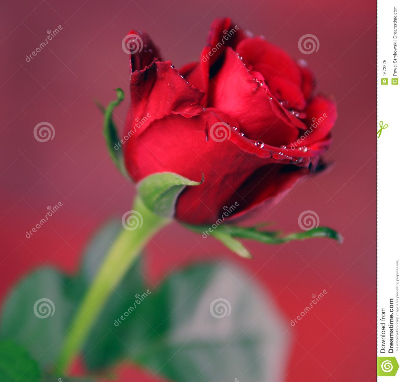 Red Single Rose Stock Image Image Of Nature Flowers 1673875