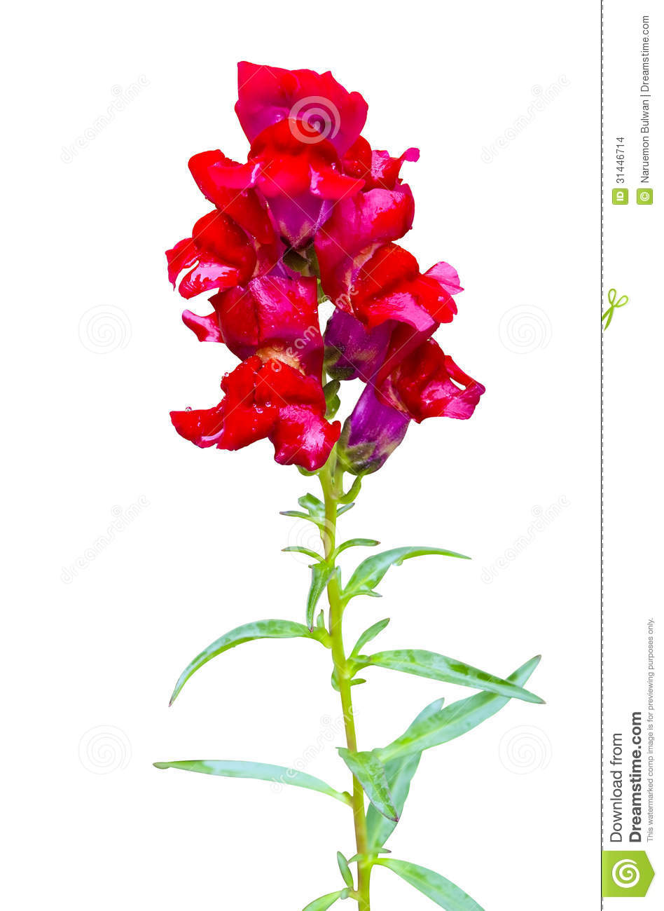 Red Snapdragon Flowers Isolated Stock Photo - Image of fresh, nature ...