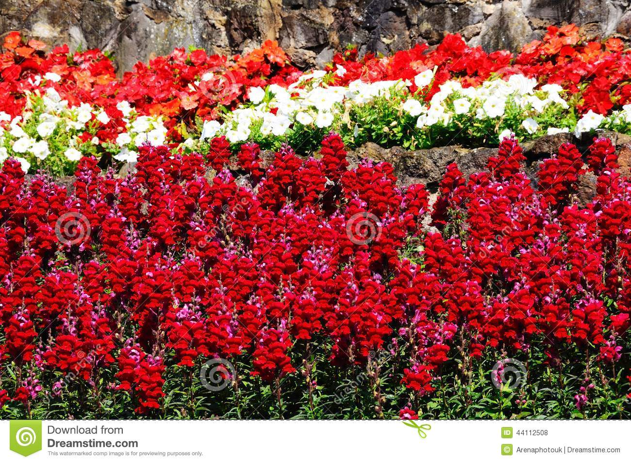 Red snapdragon flowers. stock photo. Image of white ...