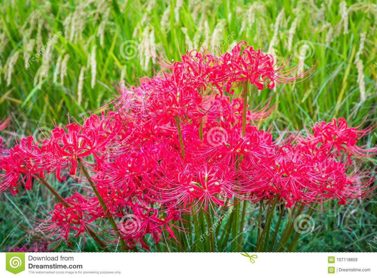 Red spider lilies and rice stock image image of farm 107118859 a vivid patch of red spider lilies blooms in spetember alongside rice ready for harvest in rural fukuoka japan these poisonous flowers of the equinox izmirmasajfo