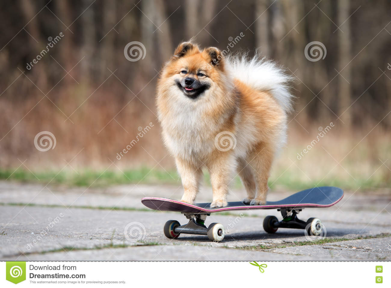 Red Spitz Dog Standing On A Skateboard Stock Image Image