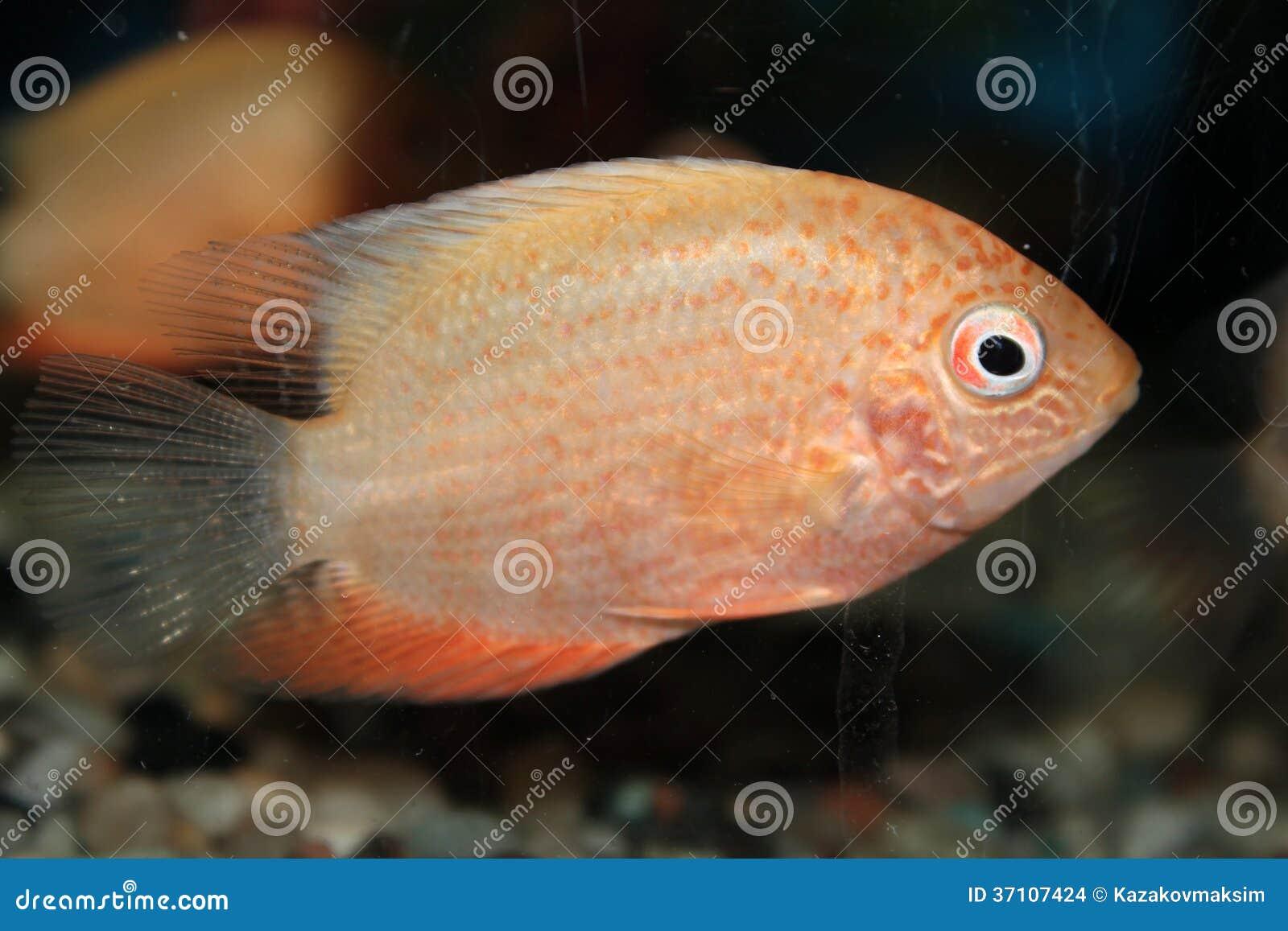 red spotted severum cichlasoma severum aquarium fish
