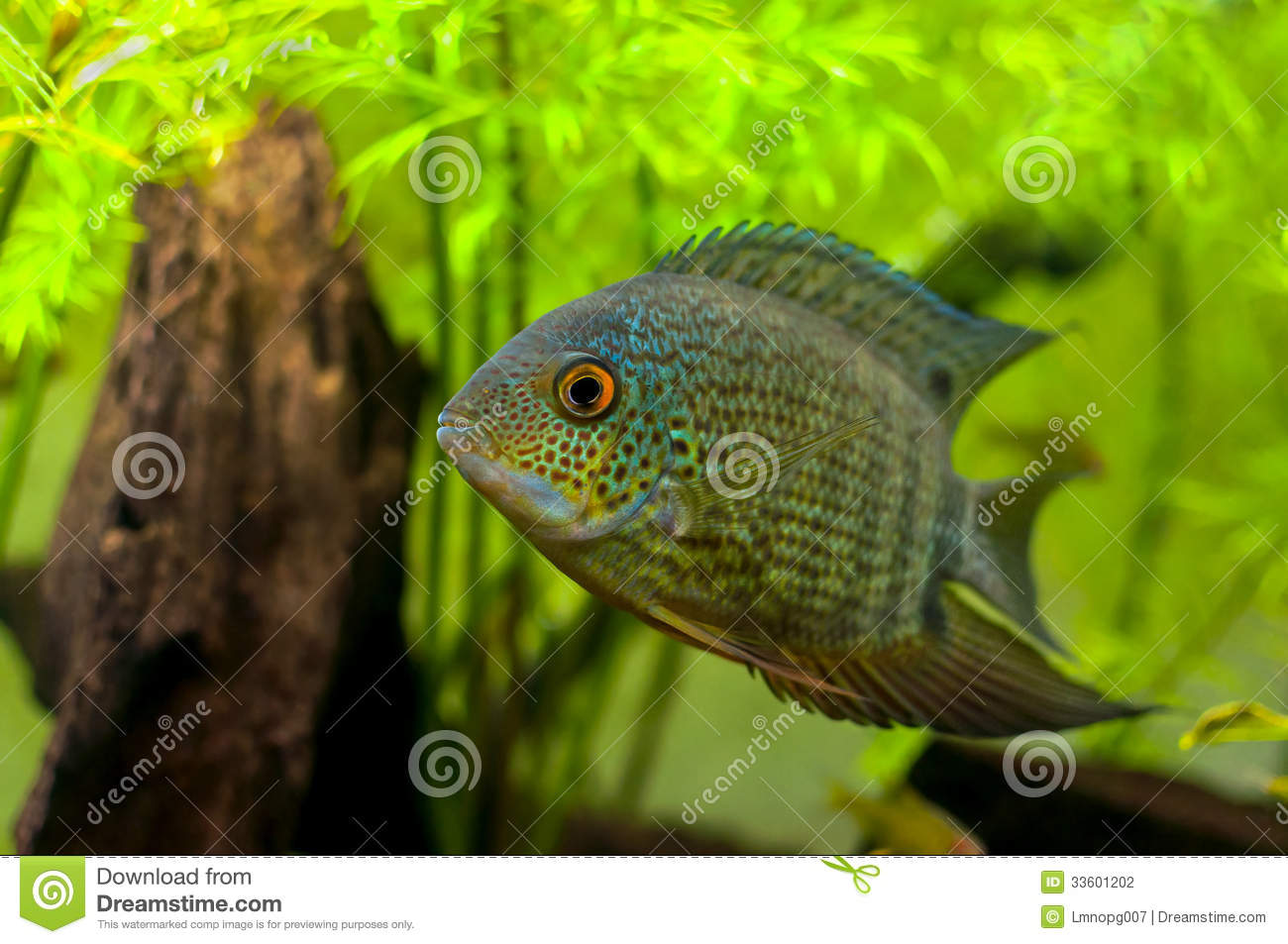 Red Spotted Turquoise Severum Stock Photography Image