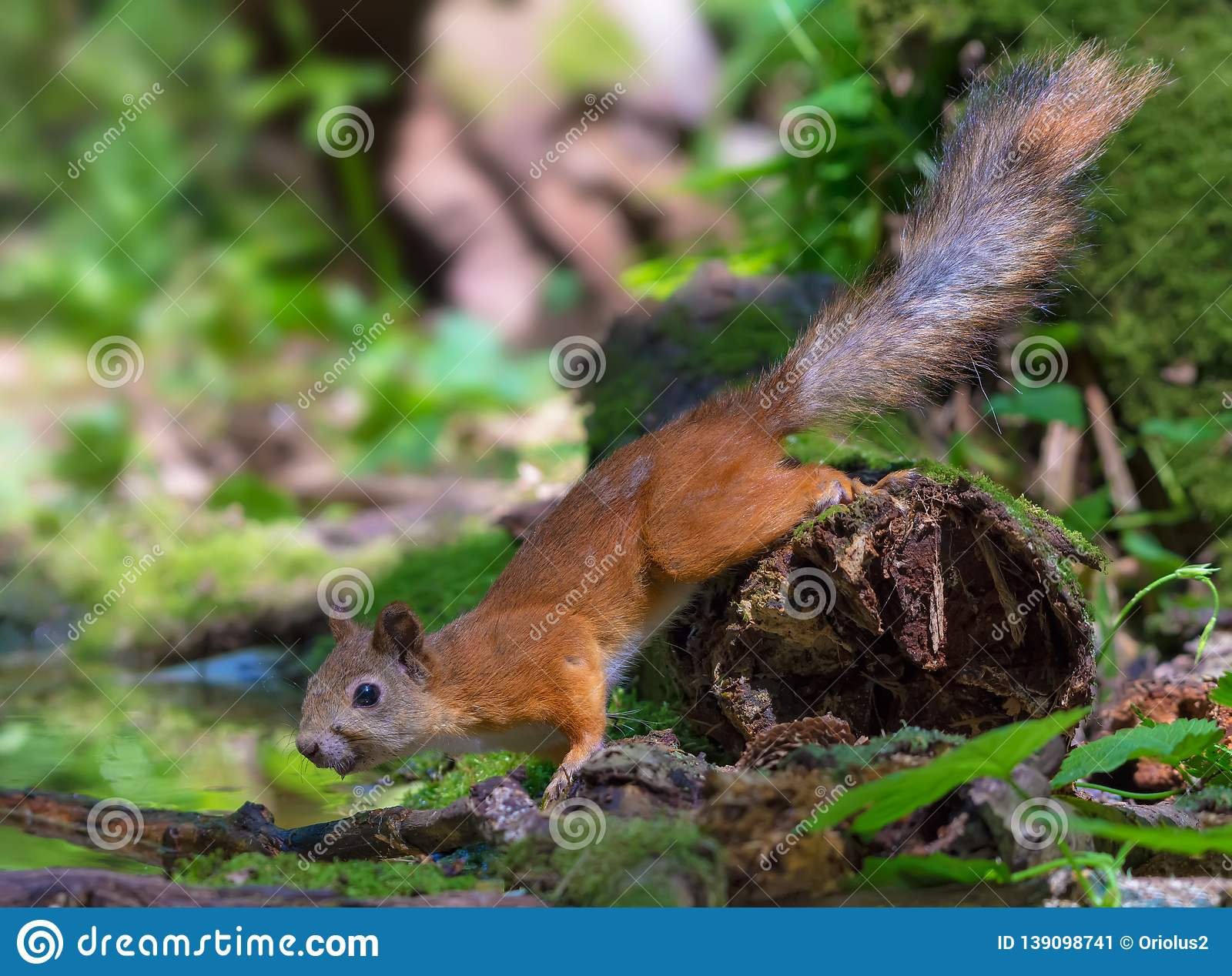Red Squirrel frozen on a mossy snag near a water pond in wood