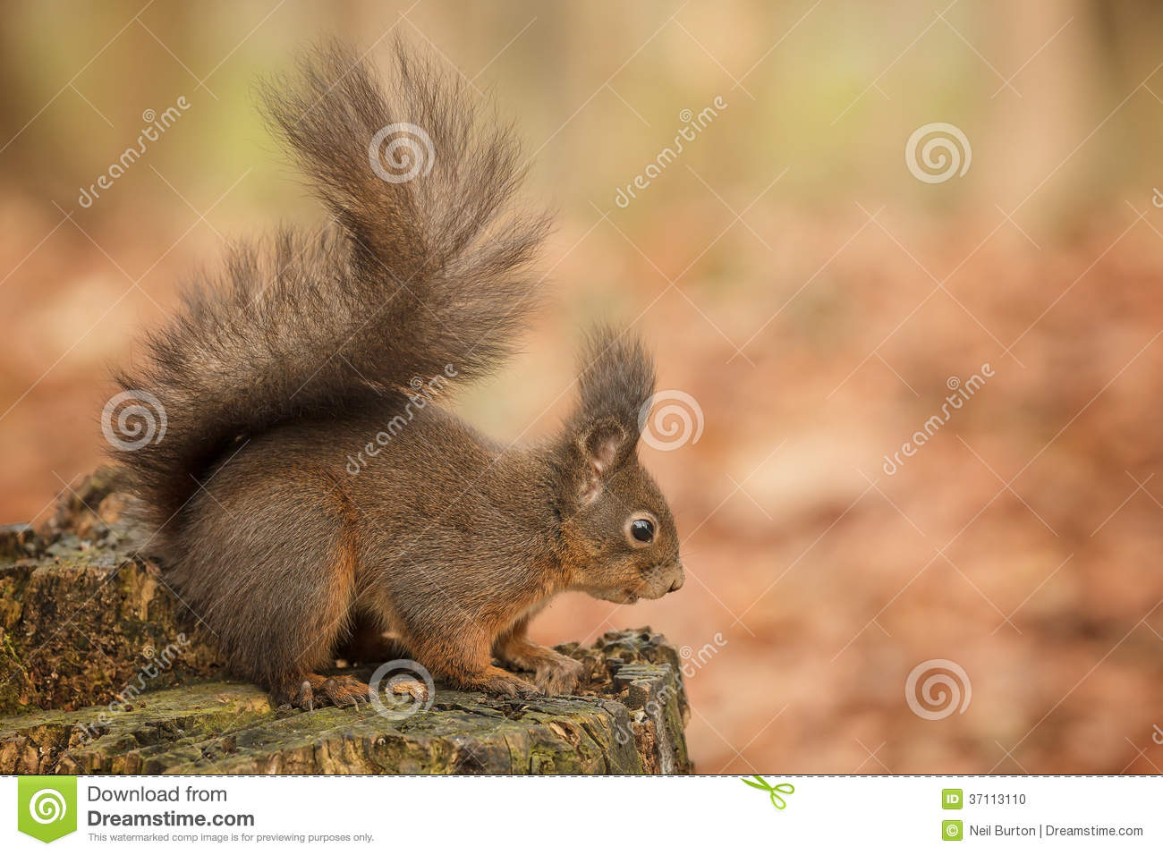 Red squirrel crouching