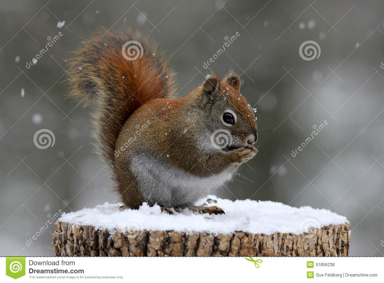 Red Squirrel Eating Seeds in Winter
