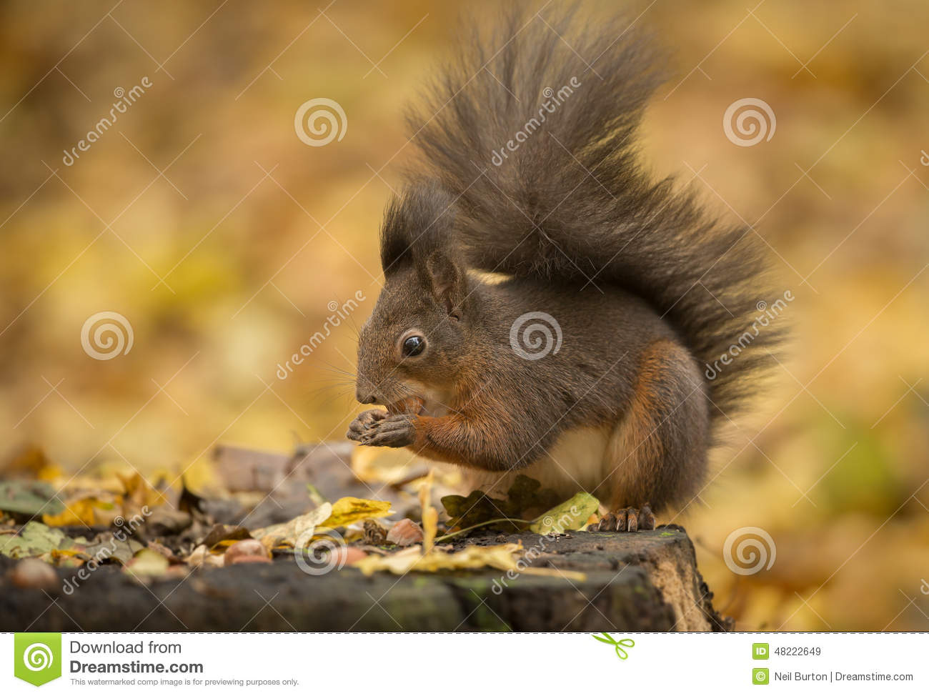 Red squirrel foraging in autumn leaves
