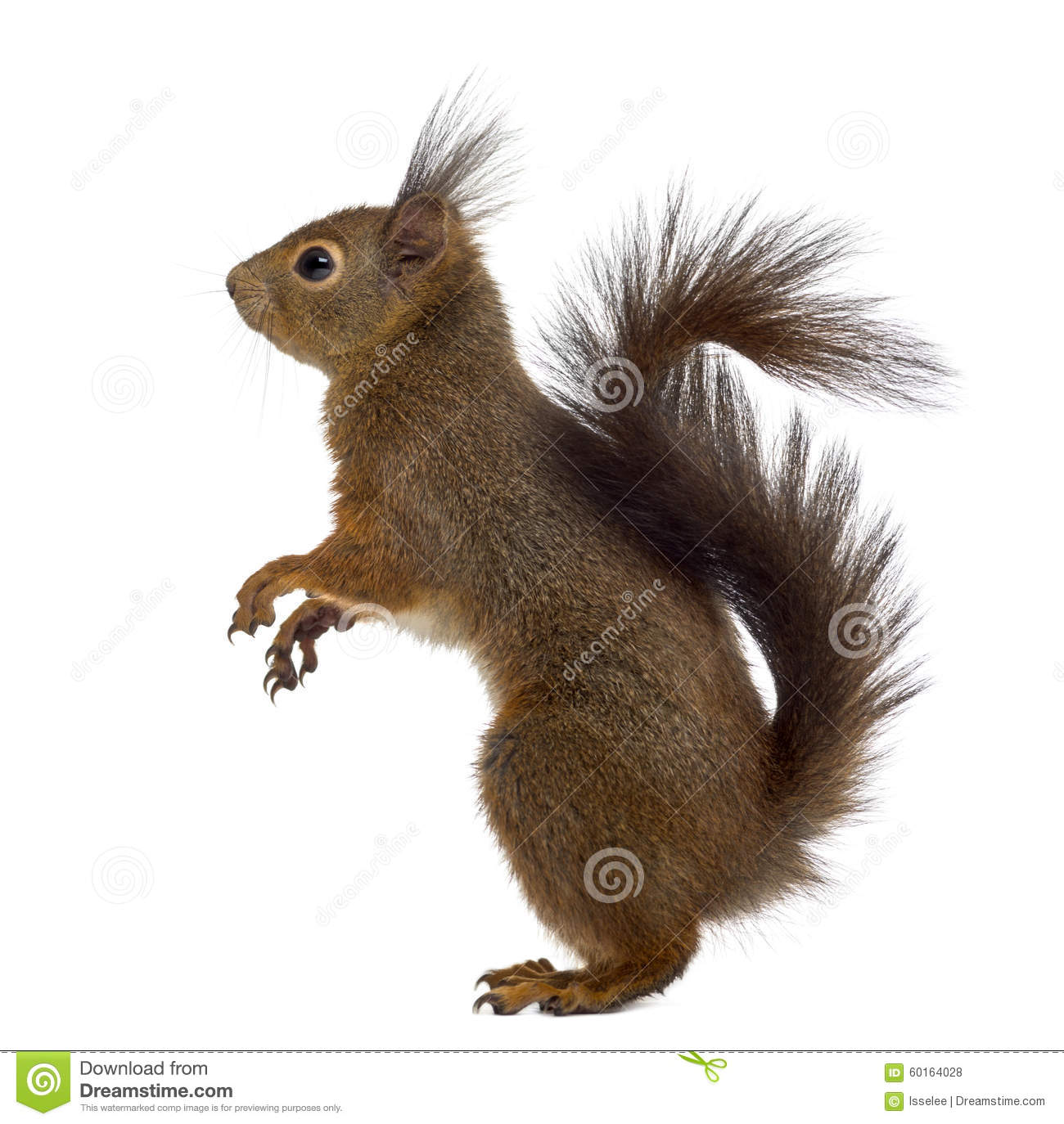 Red squirrel in front of a white background.