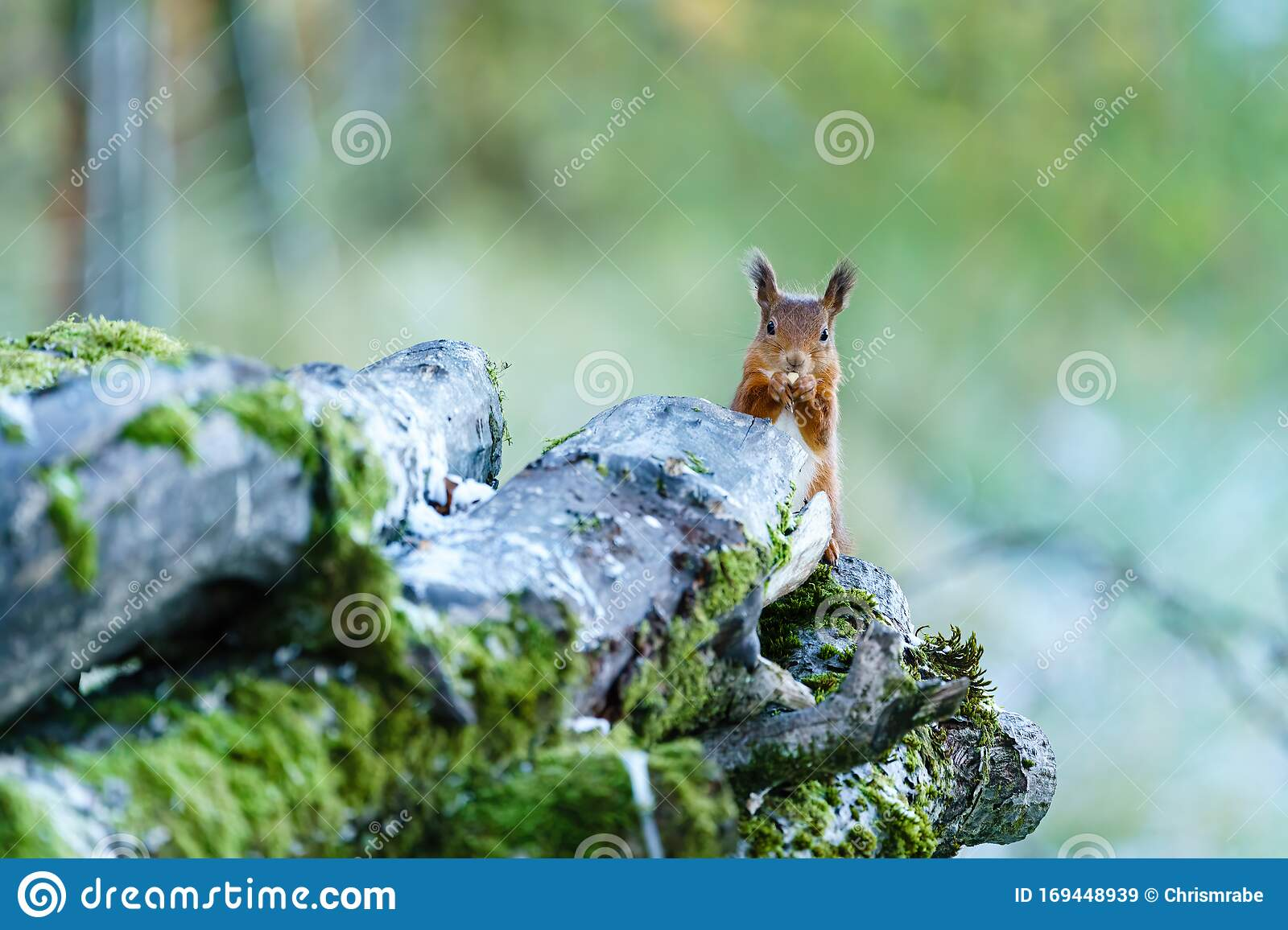 Red Squirrel Sciurus Vulgaris Nibbling On A Nut Standing Behind Some Logs Perthshire Scotland Stock Image Image Of Animals Mammals 169448939