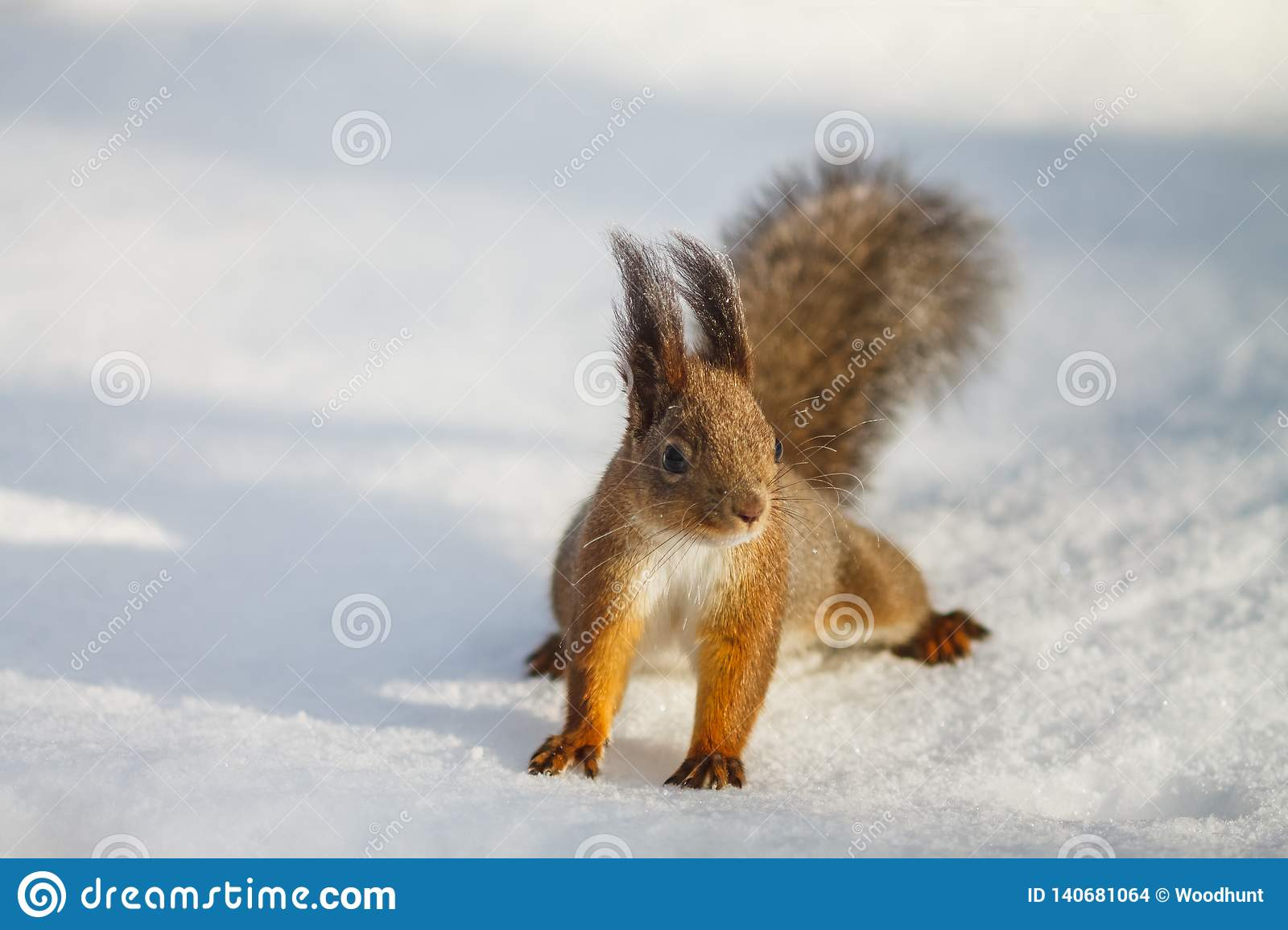 Red squirrel sits on the white snow alone and looks to the right