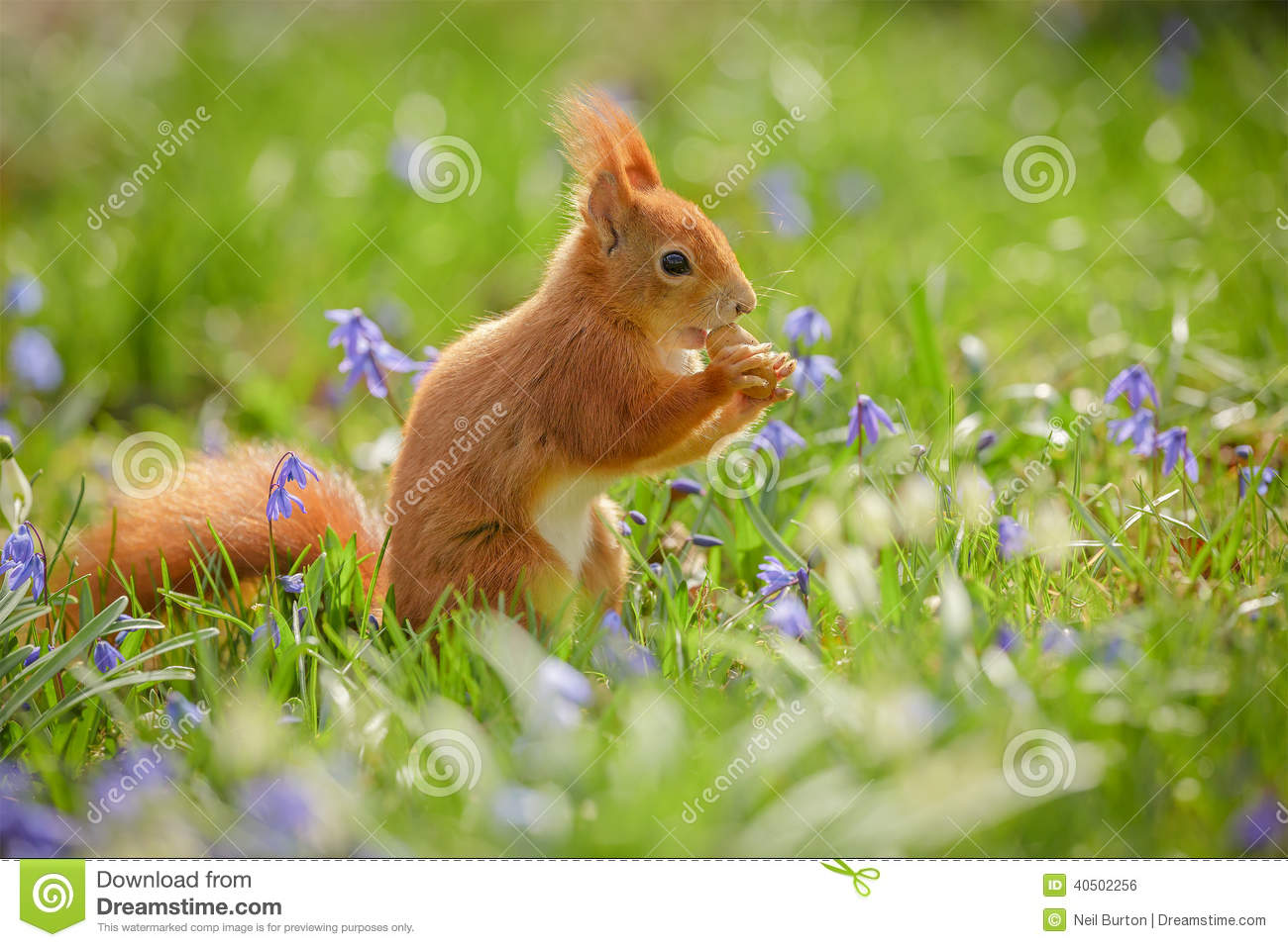 Red Squirrel Sitting Spring Flowers Stock Photo - Image: 40502256