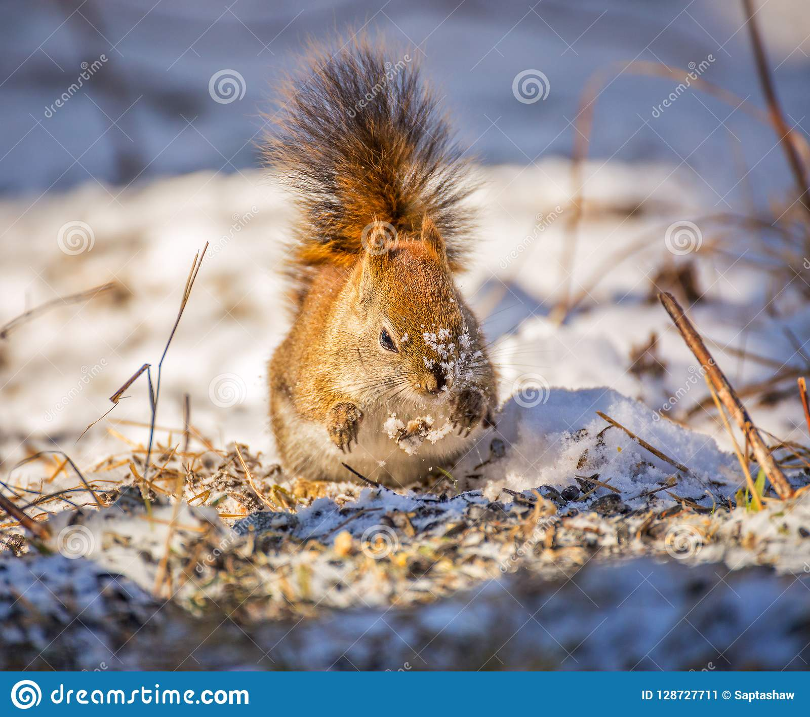 Red squirrel in snow drops food
