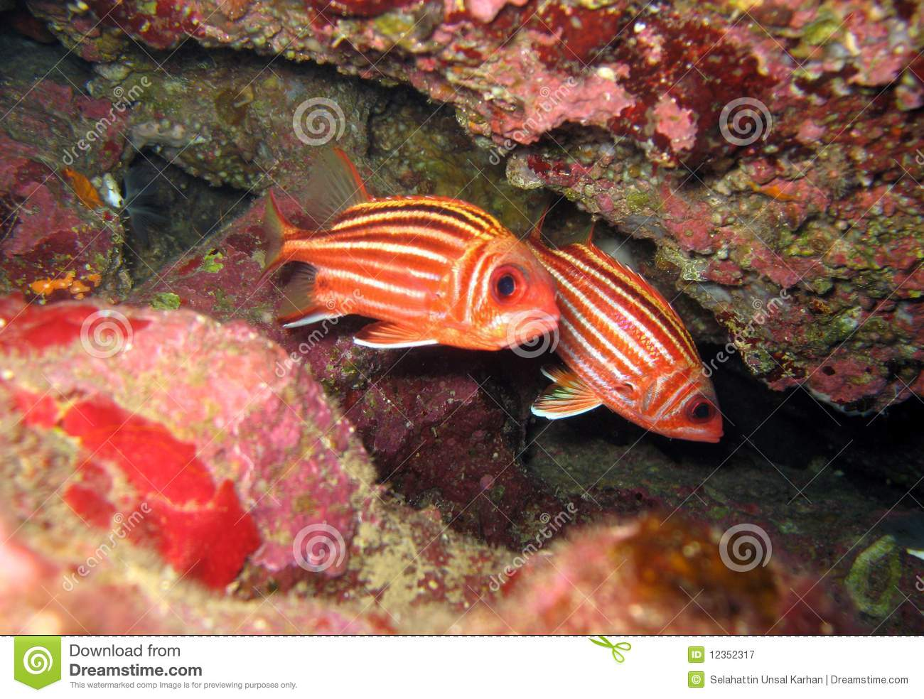 Red squirrelfish royalty free stock photography image for Big eye squirrel fish
