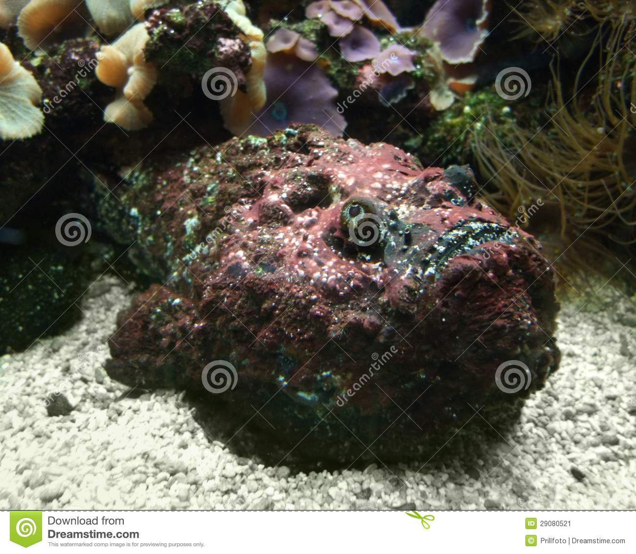 Red Stonefish on the ground