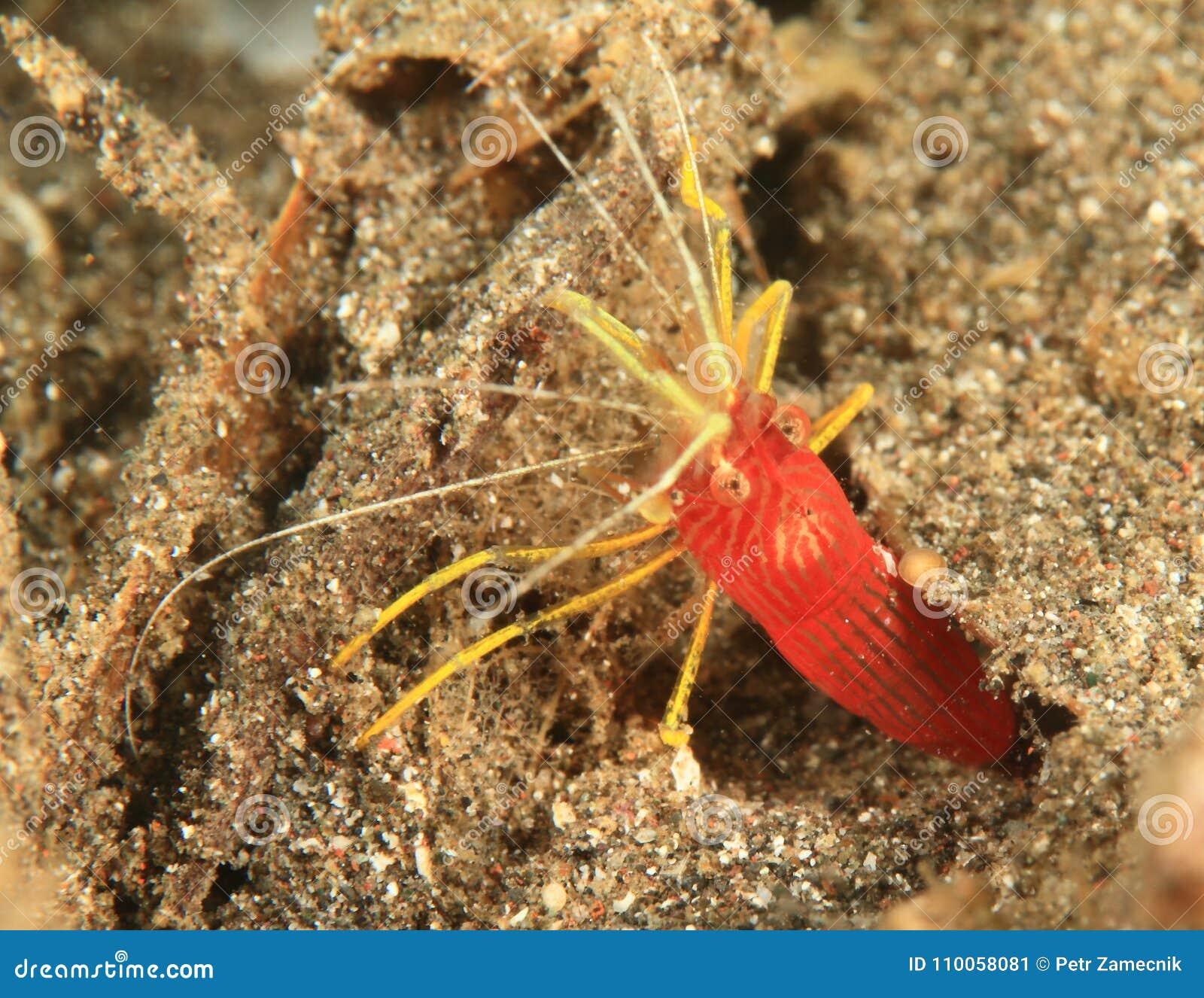 Red-striped Cleaner Shrimp