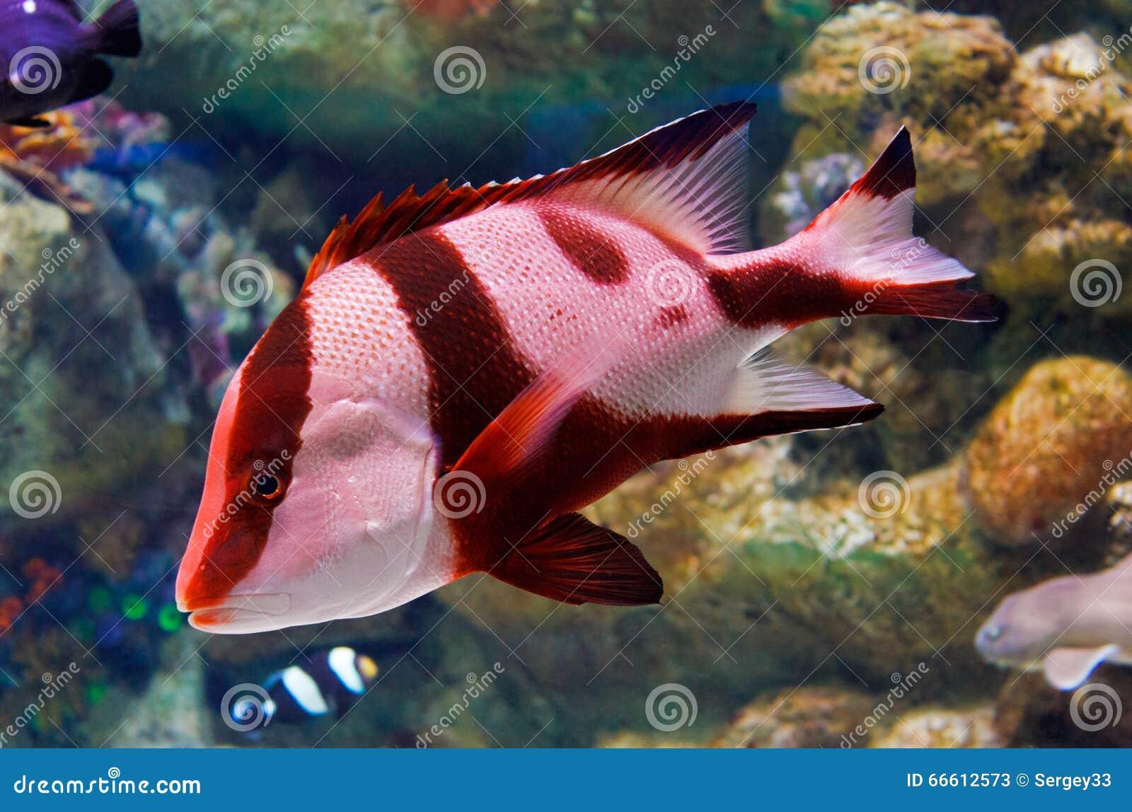 Yellow Black Striped Fish Aquarium Stock Images - 382 Photos