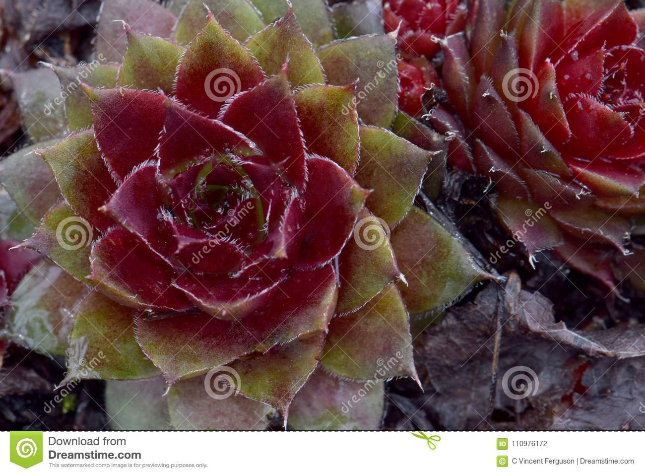 red succulents spiny leaf star stock photo image of points plant
