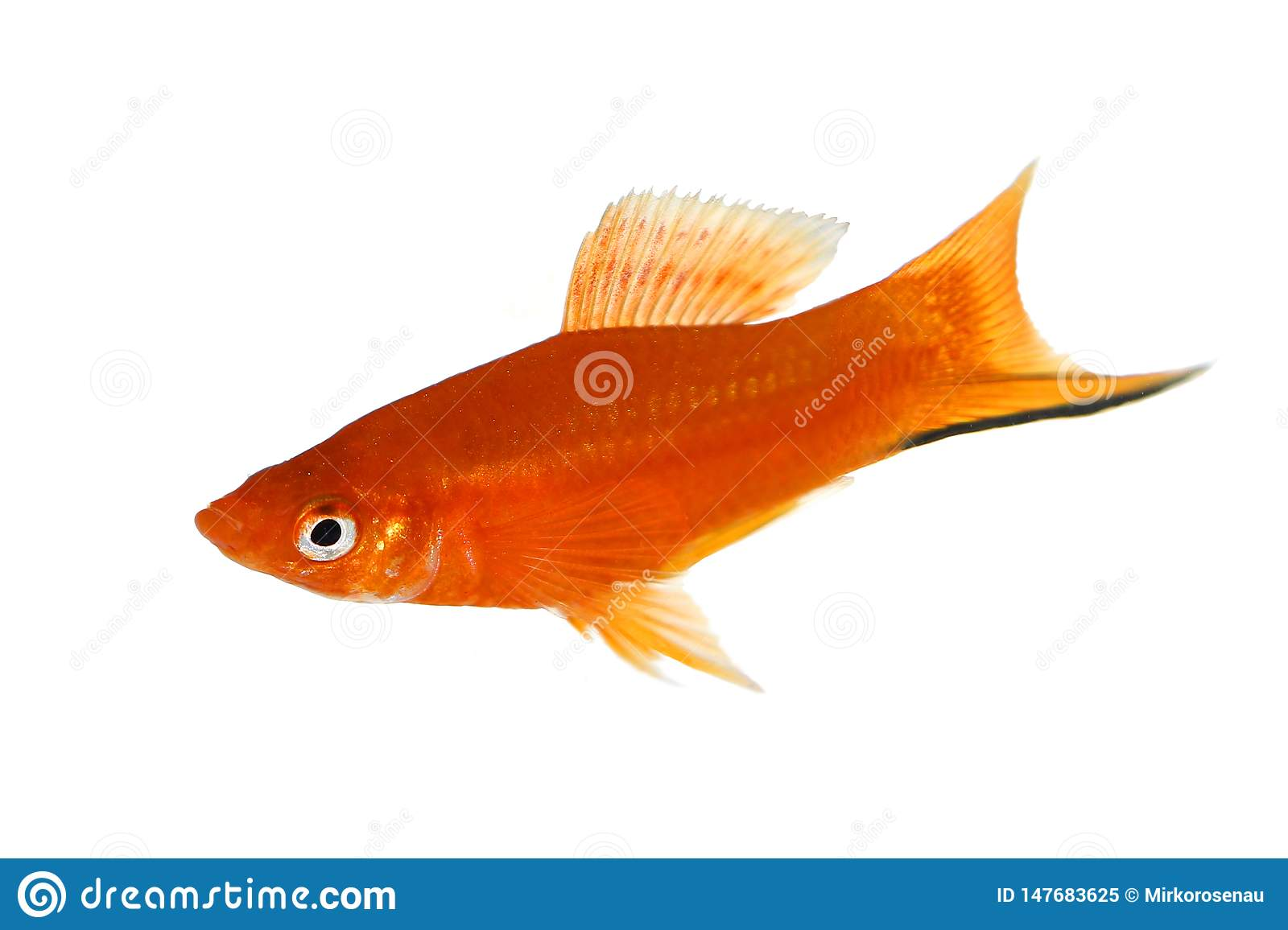 Red Swordtail Xiphophorus Helleri aquarium fish isolated on white