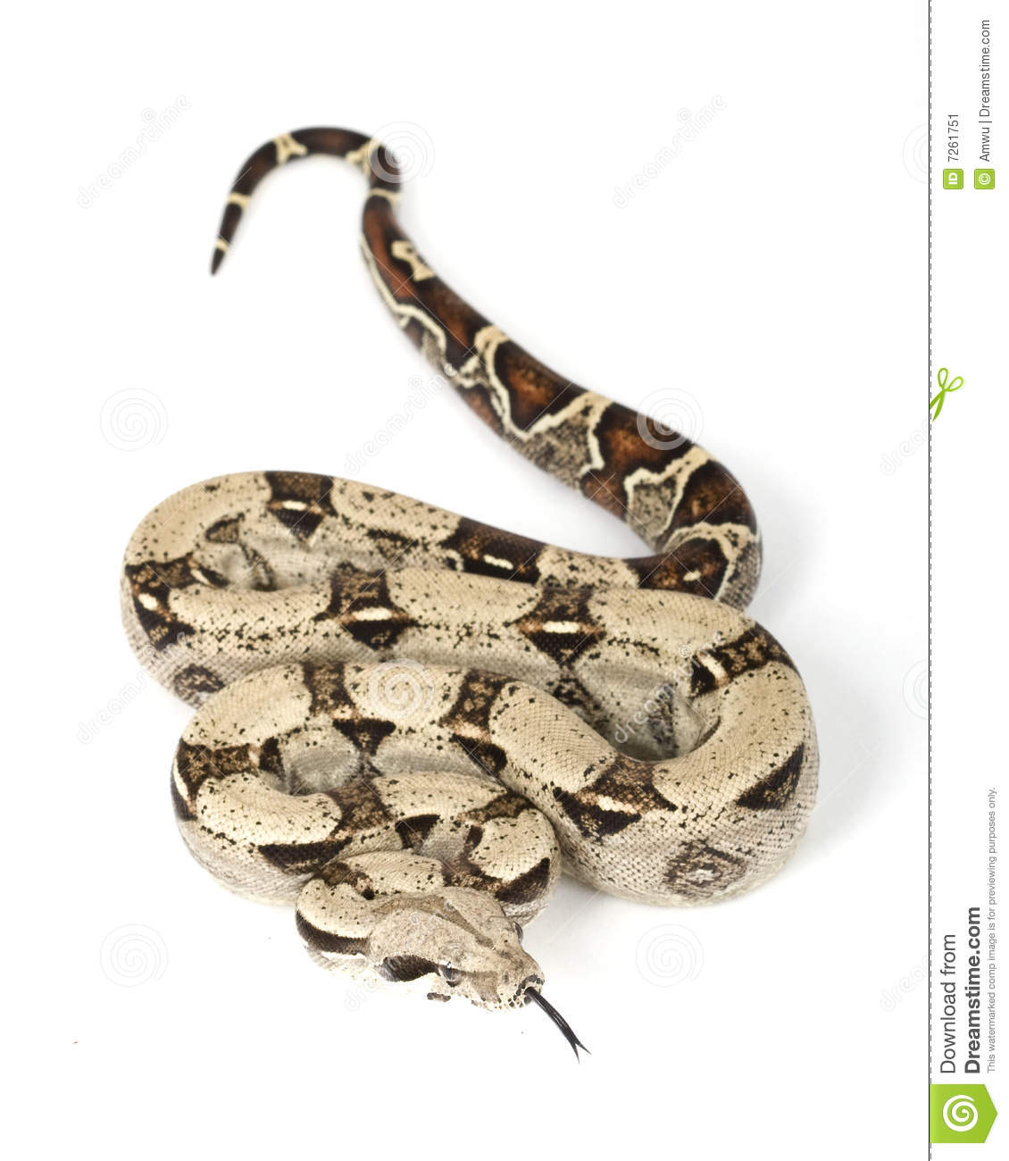 Red-tailed Boa (B. c. constrictor)