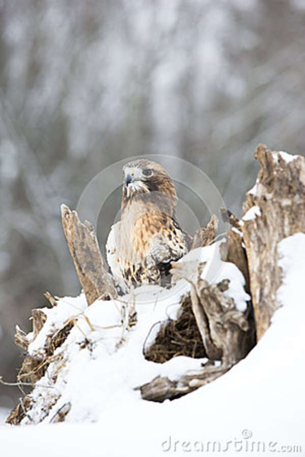 Red-tailed hawk resting on log