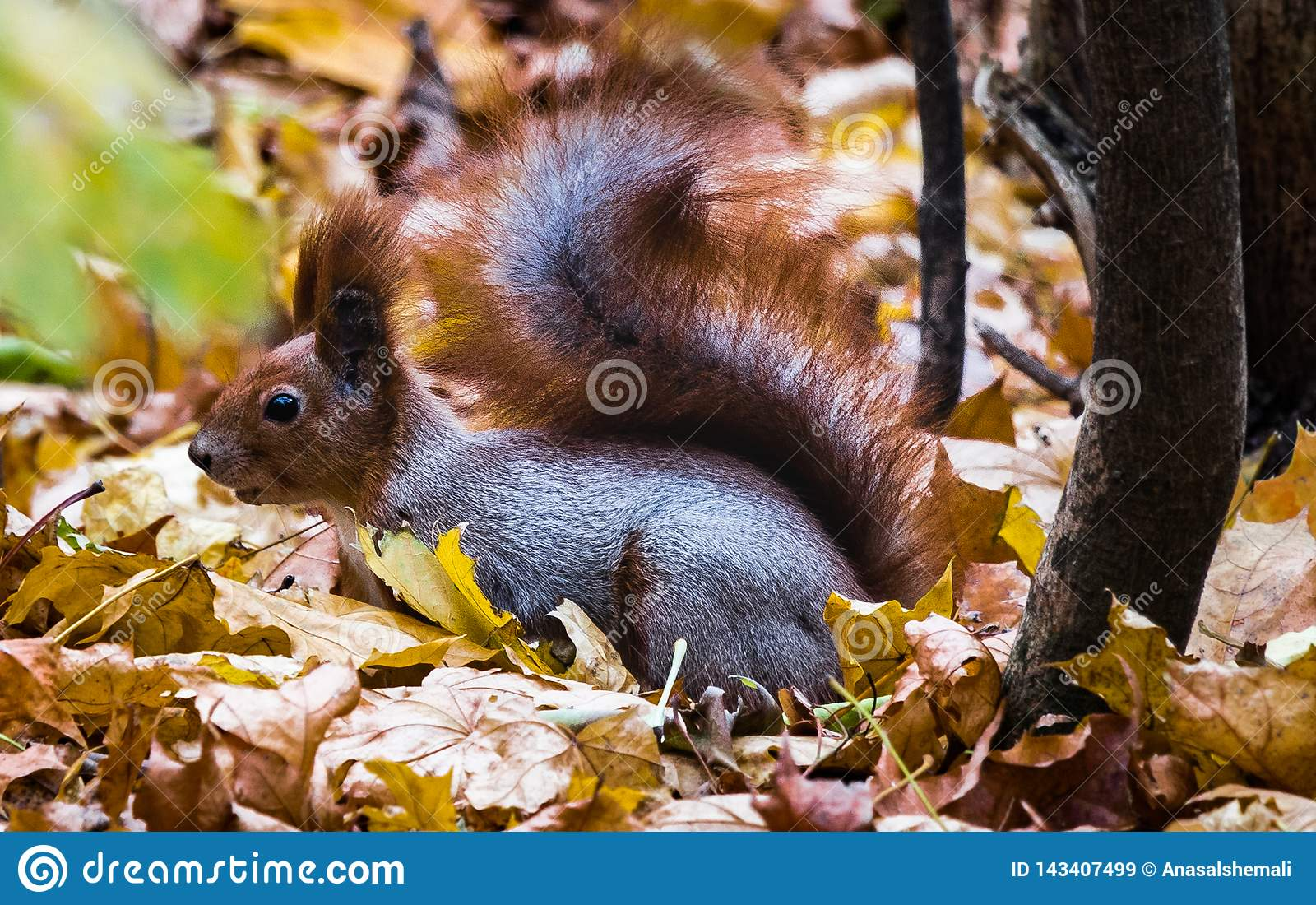 Red tailed squirrel in Hills surrounding Kiev