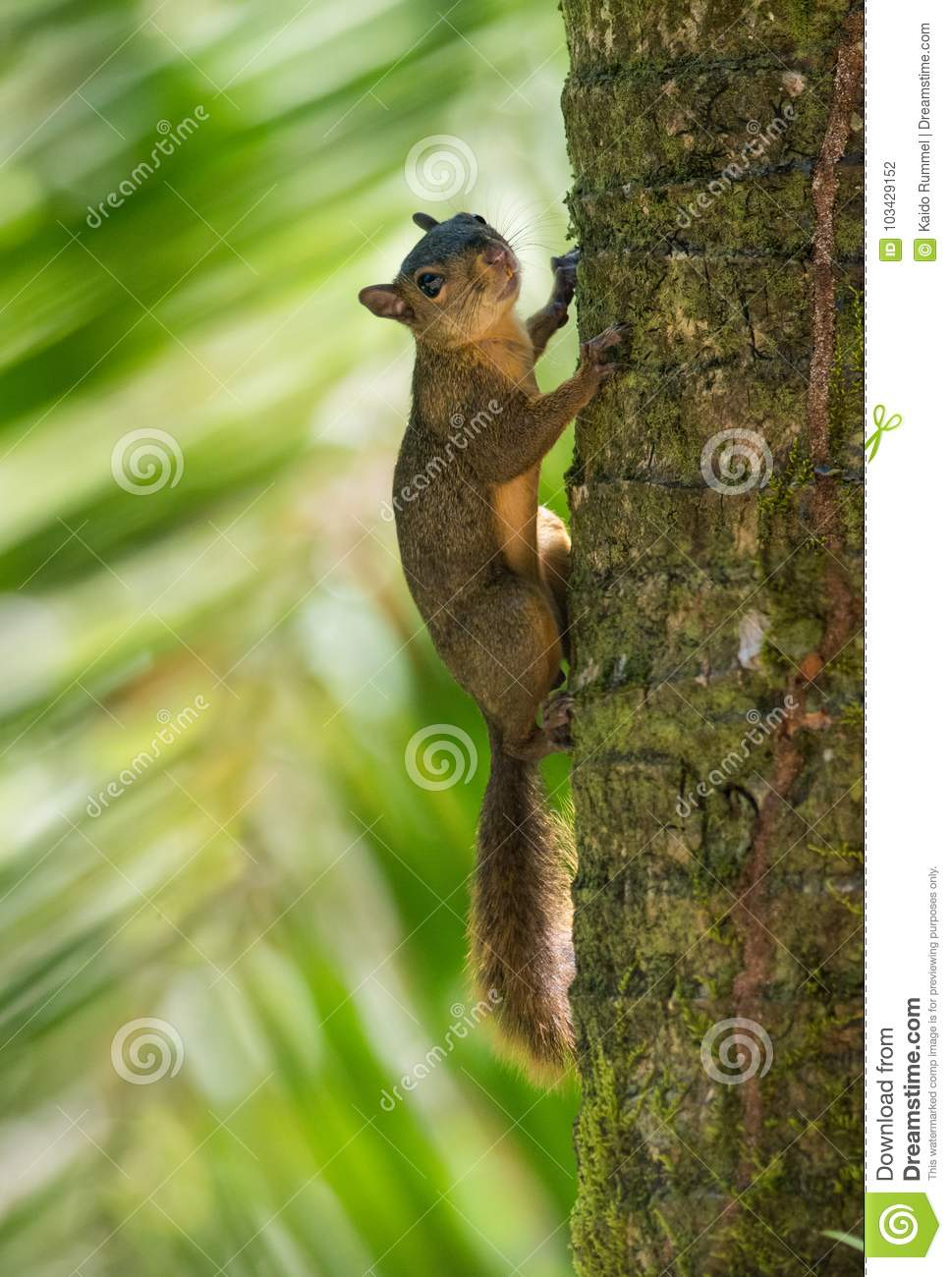 Download Red-tailed squirrel stock photo. Image of posing, cute - 103429152