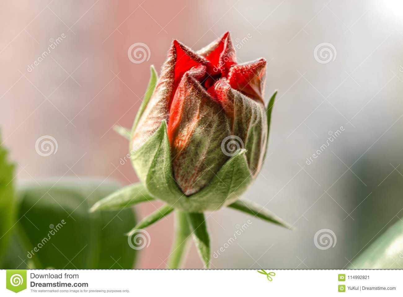 Red Hibiscus Bud Stock Image Image Of Fresh Tropical 114992821