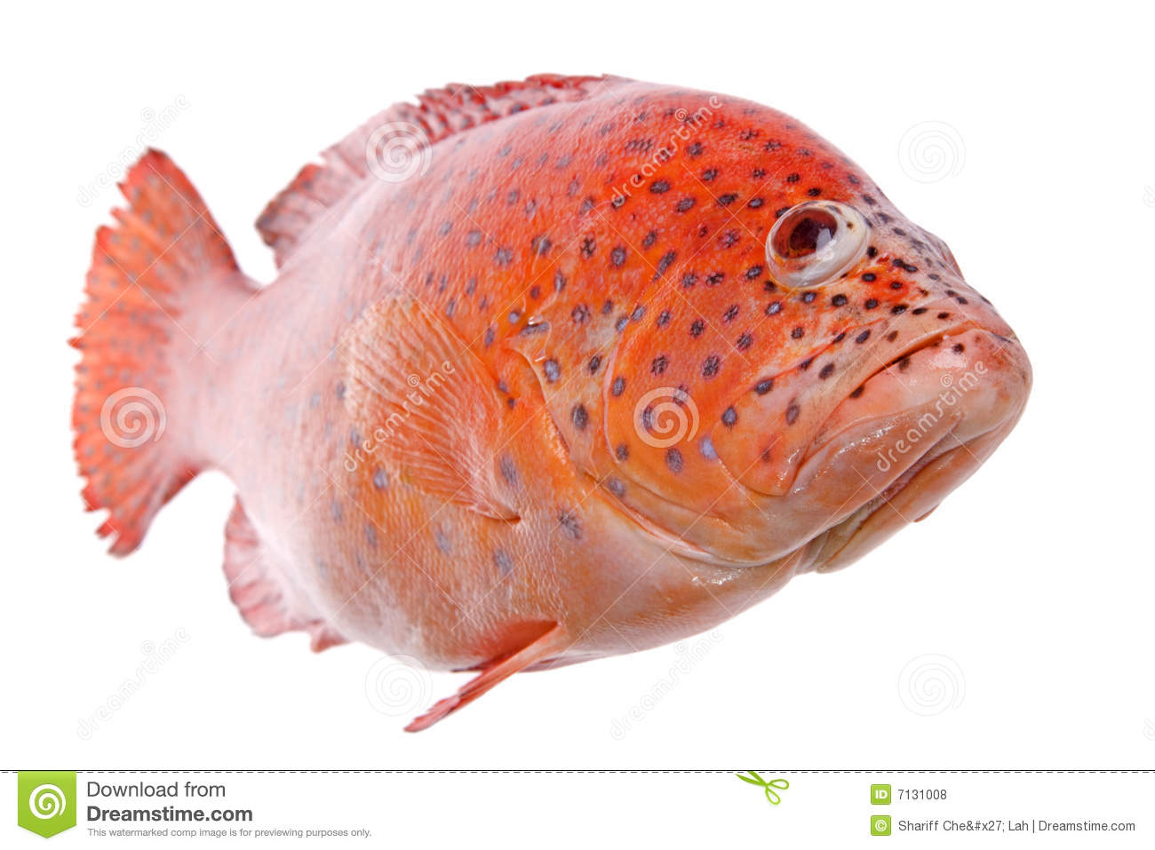 Red tilapia fish isolated royalty free stock photos for Is tilapia a healthy fish