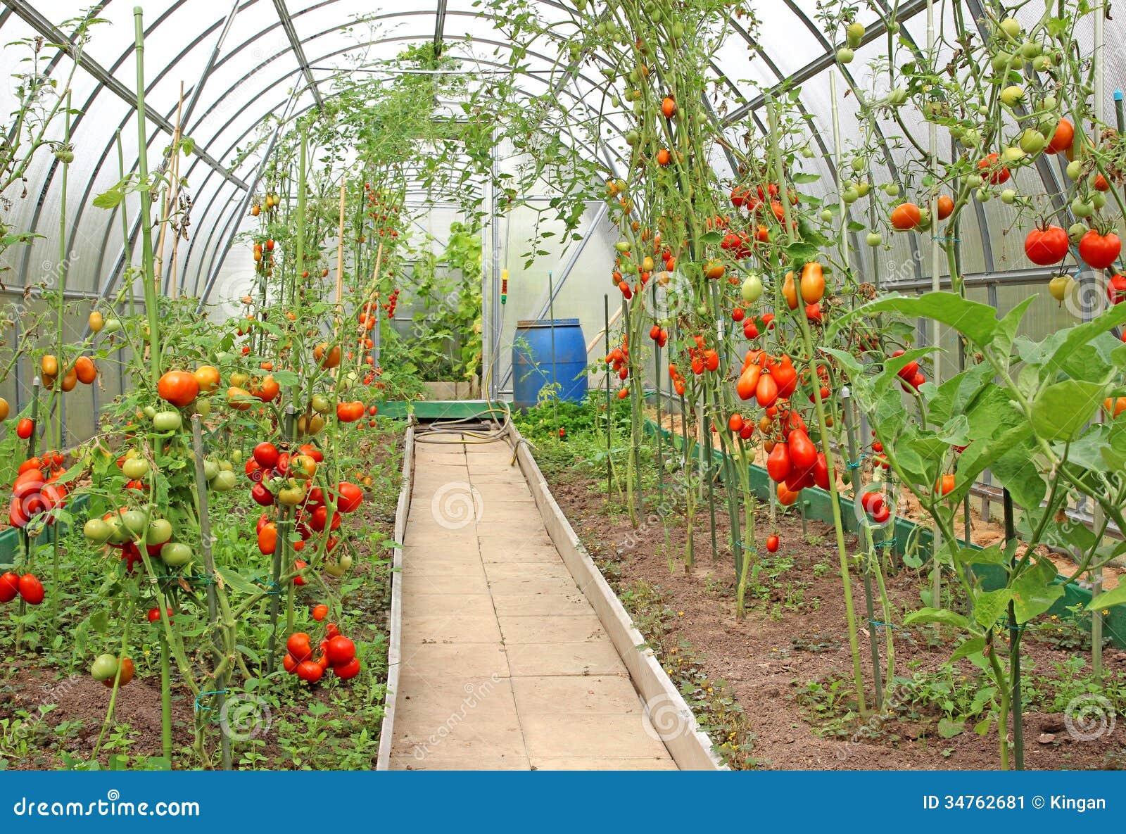 Что сделать чтобы зелёные помидоры покраснели? 14