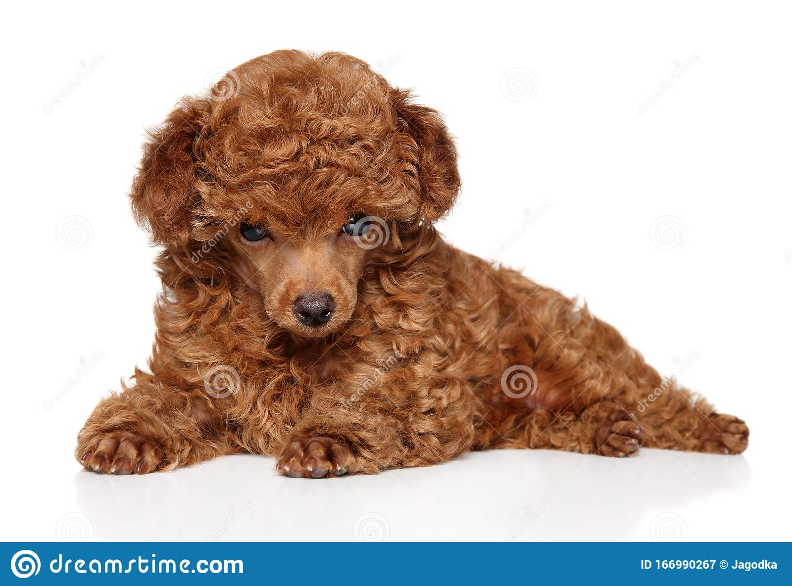 Red Toy Poodle Puppy Lying Stock Image Image Of Portrait 166990267