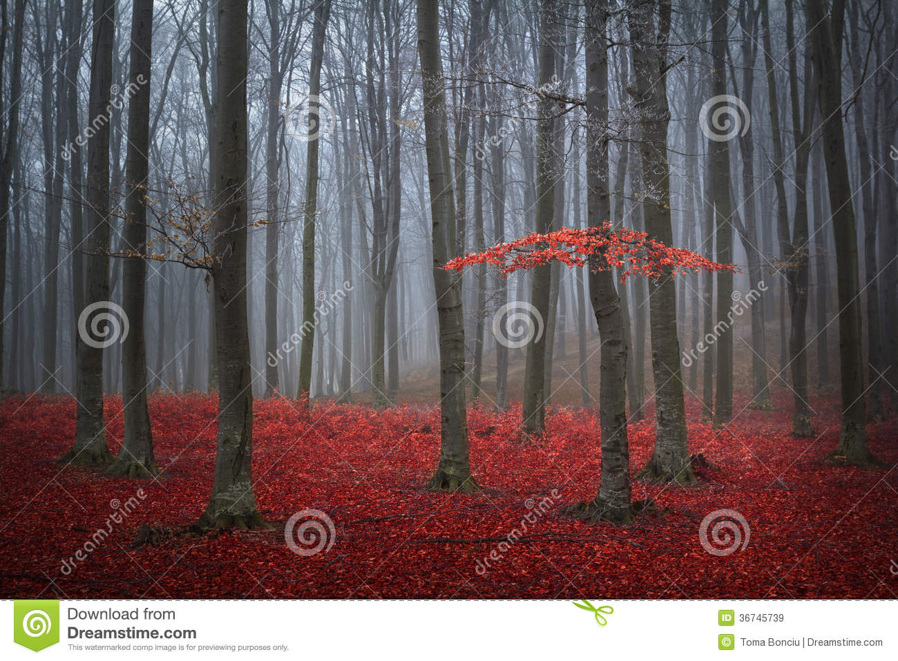 Red tree in a foggy autumn forest
