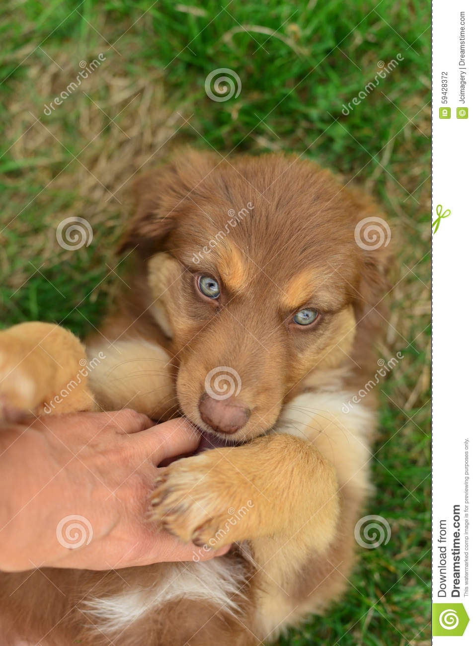 Red Tri Color Tricolor Australian Shepherd Puppy Aussie Stock Photo Image Of Companion Adorable 59428372