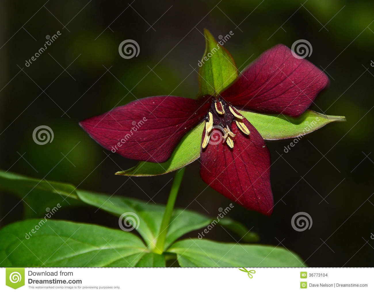 Red trillium in the forest